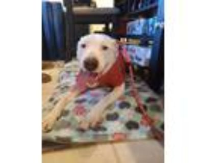 Adopt Axel a White American Pit Bull Terrier / Labrador Retriever dog in