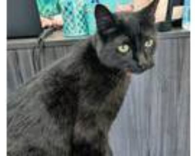 Prince Charming, Domestic Shorthair For Adoption In Duluth, Georgia