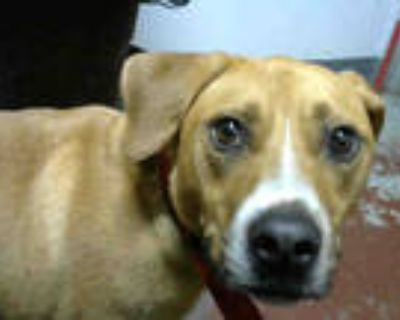 Adopt ROSCOE a Tan/Yellow/Fawn - with White American Pit Bull Terrier / Mixed