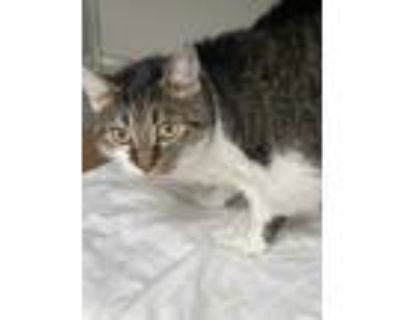 Adopt Mitten a White Domestic Shorthair / Domestic Shorthair / Mixed cat in