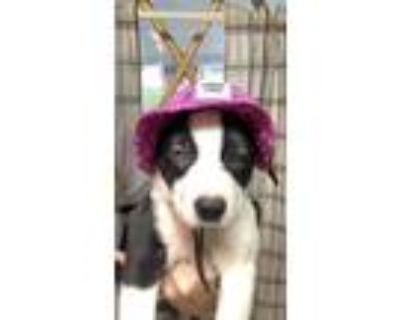 Adopt Harriet Ruth a Pit Bull Terrier / Husky / Mixed dog in Morgantown