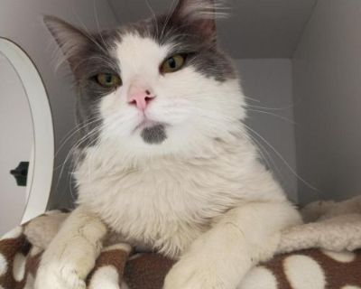 Male Domestic Short Hair named Chester available for adoption
