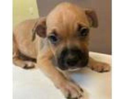 Adopt Franc a Boxer, Labrador Retriever