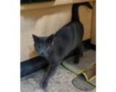 Adopt Marino a Russian Blue, Domestic Short Hair