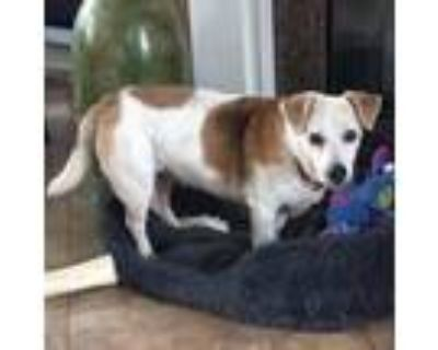 Adopt Gracie a Red/Golden/Orange/Chestnut - with White Jack Russell Terrier /