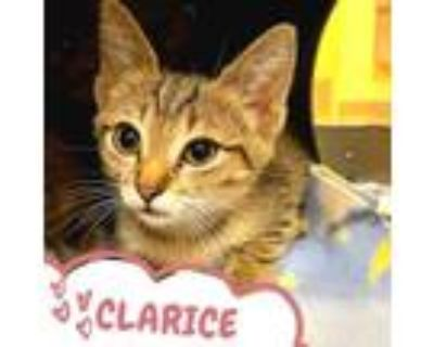 Adopt CLARICE a Brown Tabby Domestic Shorthair / Mixed (short coat) cat in Fort