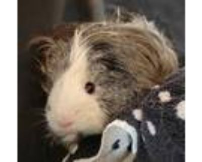 Adopt Einstein a Silver or Gray Guinea Pig / Mixed small animal in Kansas City