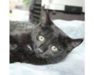 Adopt Morticia a All Black American Shorthair / Mixed cat in Fairfax