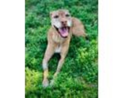 Adopt Nala Sponsored in memory of Franky a Tan/Yellow/Fawn American Pit Bull