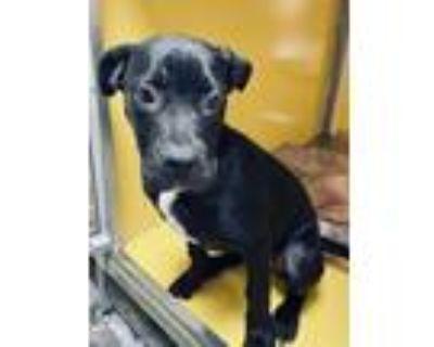 Adopt Cali a Labrador Retriever, Boxer