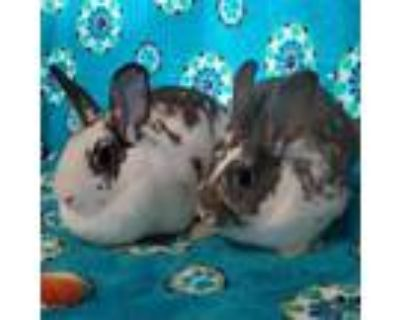 Adopt Cornflake (bonded to Clementine) a English Spot, Hotot
