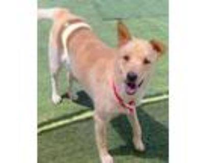 Adopt Peggy a Labrador Retriever, Border Collie
