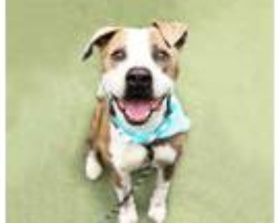 Adopt TANK a Brown/Chocolate - with White Mixed Breed (Medium) / Mixed dog in
