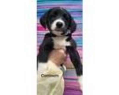 Adopt Continuo a Black - with White Blue Heeler / Catahoula Leopard Dog dog in