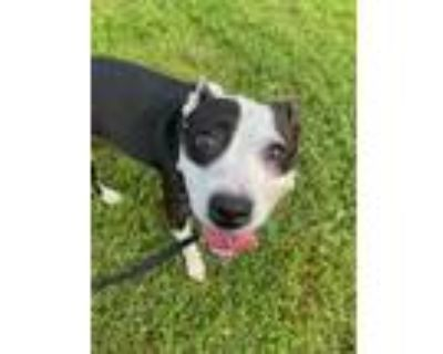 Adopt DIME a Black - with White American Pit Bull Terrier / Mixed dog in