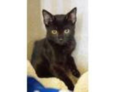 Adopt Andrey a All Black Domestic Shorthair / Domestic Shorthair / Mixed cat in