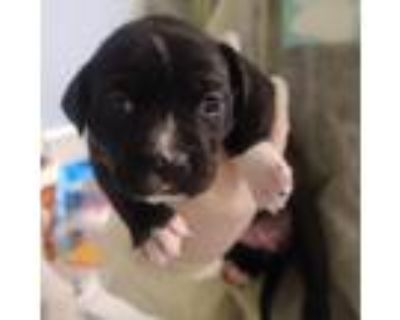 Adopt Molly Hooper a Black Catahoula Leopard Dog / Terrier (Unknown Type