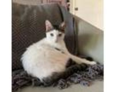 Betty, Domestic Shorthair For Adoption In Indianapolis, Indiana