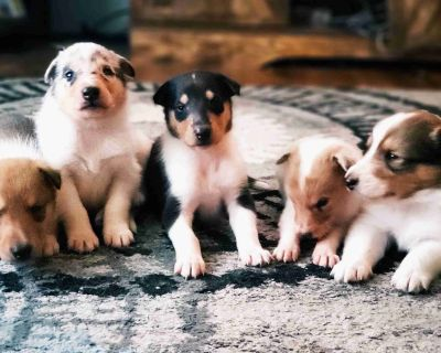 Rough and Smooth Collie Puppies