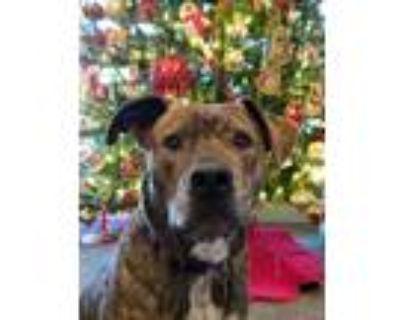 Adopt Rockwell a Brindle Boxer / Labrador Retriever dog in Denver, CO (28218050)