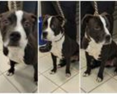 Adopt *BAM a Black American Pit Bull Terrier / Boxer / Mixed dog in Derwood