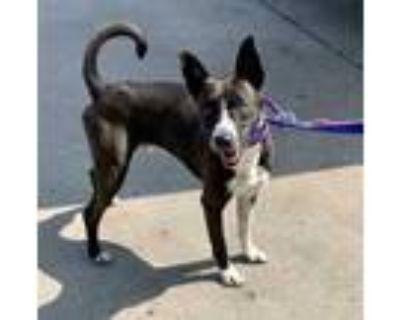 Adopt Casey a Black Boston Terrier / Basenji / Mixed dog in Morton Grove