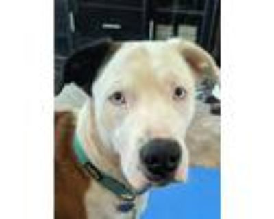 Adopt Cielo a Brown/Chocolate - with White Husky / Boxer / Mixed dog in Phoenix