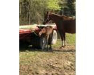 SALE PENDING!! Stallion Prospect! Zippo Pine Bar/Invester/Peptoboonsmal Colt!
