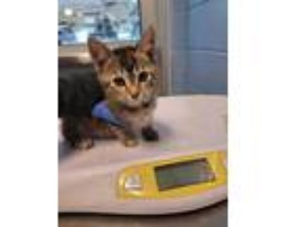 Adopt Patata a Gray or Blue Domestic Shorthair / Domestic Shorthair / Mixed cat