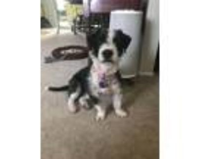 Adopt Paisley a Black - with White Terrier (Unknown Type