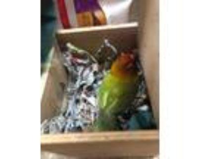 Adopt Hei Hei a Lovebird