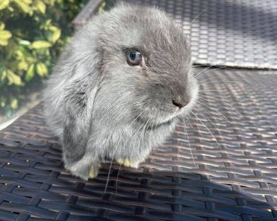 Gray Holland lop for sale Buck
