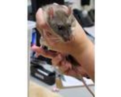 Adopt RICKY a Tan or Beige Rat (short coat) small animal in Tucson