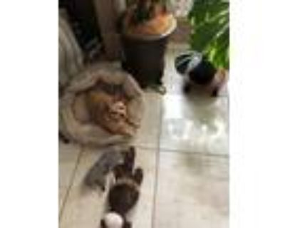 Adopt Speedy a Tan/Yellow/Fawn Miniature Pinscher / Mixed dog in Kingwood
