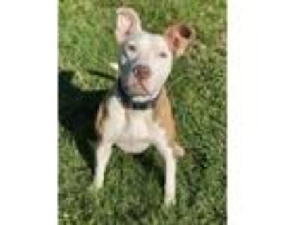 Adopt Davey a Pit Bull Terrier