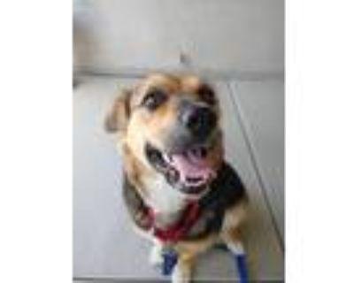 Adopt Delilah a Tricolor (Tan/Brown & Black & White) German Shepherd Dog /
