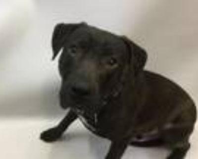 Adopt Benny a Labrador Retriever, Pit Bull Terrier