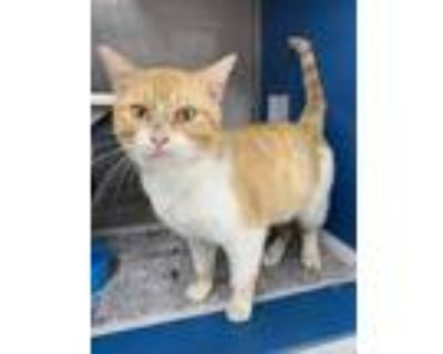 Adopt Goldfish a Orange or Red Domestic Shorthair / Domestic Shorthair / Mixed