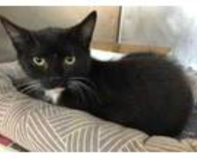 Adopt 47833560 a All Black Domestic Mediumhair / Domestic Shorthair / Mixed cat