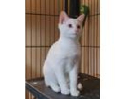 Adopt Percival a White Domestic Shorthair cat in Denver, CO (32070440)