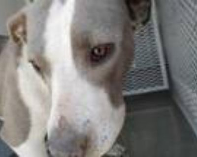 Adopt *GRACIE a Gray/Silver/Salt & Pepper - with White American Pit Bull Terrier