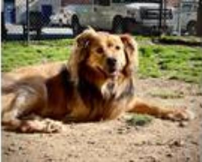 Adopt REGIS a Chow Chow / Shepherd (Unknown Type) / Mixed dog in Little Rock