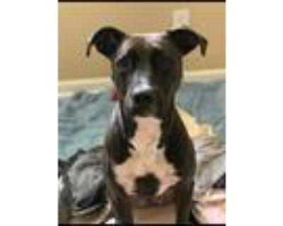 Adopt Atlas a Black Boxer / Whippet / Mixed dog in Alpharetta, GA (32023492)