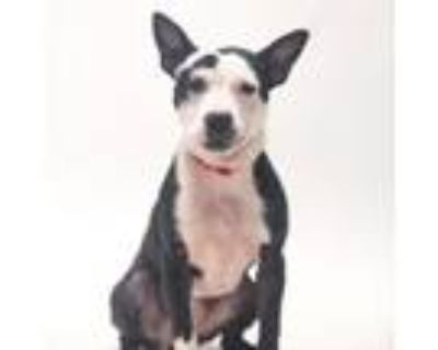Adopt Jinx a Boston Terrier, Mixed Breed