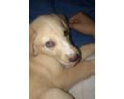 Adopt Ruby Tuesday a Tan/Yellow/Fawn Labrador Retriever / Husky / Mixed dog in