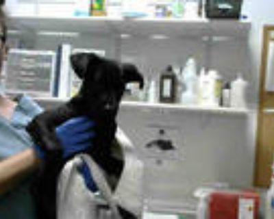 Adopt MERCUCIO a Black - with White Labrador Retriever / Mixed dog in Atlanta