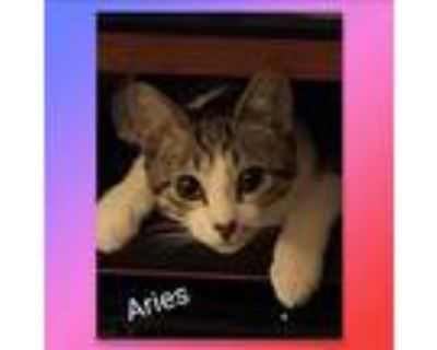 Adopt Aries a Black & White or Tuxedo Domestic Mediumhair / Mixed cat in Howey