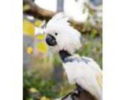 Adopt Katie F a Cockatoo