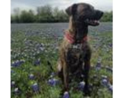 Adopt Reese a Brindle Plott Hound / American Pit Bull Terrier / Mixed dog in