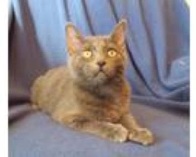 Willie, Russian Blue For Adoption In Goodyear, Arizona
